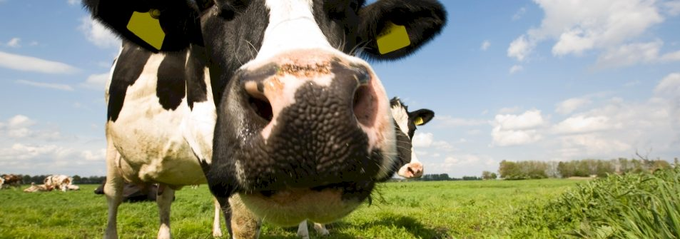 Waarom zingen koeien niet?