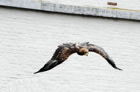 Falconers @ Work