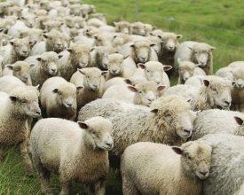 Column: 'Flock Behaviour'